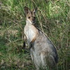 Kangaroo (juvenile) at Pooh Corner - photo: GL Parker